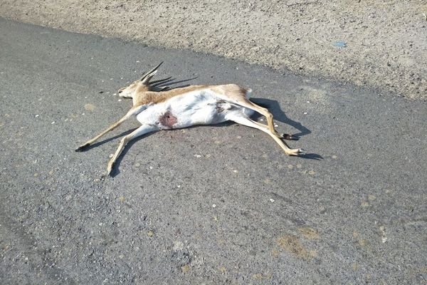 Deer found dead in suspicious condition on the road