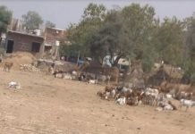 Cow condition in muraina